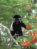 Angolan Colobus or Angolan Black and White Colobus (Colobus Angolensis)  Kenya
