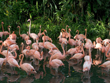 Greater Flamingo (Phoenicopterus Ruber) Flock Wading in Shallow Water