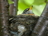 An American Robin in it's Nest in a Cherry Tree