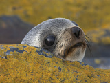 A Southern Fur Seal Pup