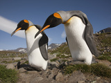 A Pair of Courting King Penguins