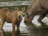 Moose (Alces Americanus) Mother and Calf  Chena River  Alaska