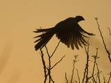 Silhouette of Grey Go-Away-Bird  Corythaixoides Concolor  in Flight