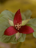 Close Up of a Purple Trillium Flower  Trillium Erectum