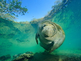 Captive Rehabilitated Florida Manatee in Clear Water