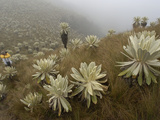 Paramo Flower (Espeletia Pycnophylla) Being Photographed by a Tourist  Ecuador