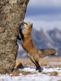 Red Fox (Vulpes Vulpes) Smelling Rock  North America