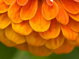 Extreme Close-Up of an Orange Zinnia Flower