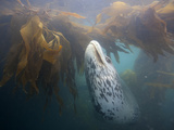 A Leopard Seal Swims in a Bed of Kelp
