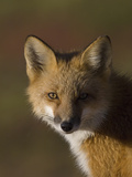Red Fox (Vulpes Vulpes)  Alaska