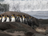 King Penguins Run the Gauntlet of Testy Elephant Seals