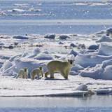 Polar Bear (Ursus Maritimus) Mother with Cubs on Ice Floe  Svalbard  Norway