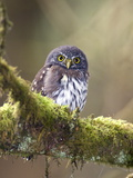 Northern Pygmy-Owl  Glaucidium Gnoma  in the Rainforest