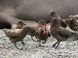 Brown Skuas Fight over the Placenta of a Southern Elephant Seal Pup