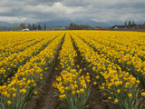 A Field of Yellow Daffodils in Spring  North of Seattle
