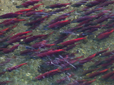 Sockeye Salmon Swim Up Moraine Creek
