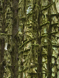 Moss Covered Trees  Hoh Rainforest  Olympic National Park  Washington