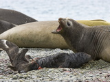 Brown Skua Snatching the Placenta of Southern Elephant Seal Pup