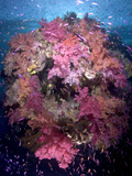 Soft Coral Trees Balloons to Feed in the Strong Food Rich Current