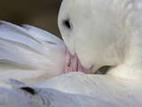 A Wandering Albatross Preening