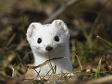 Short-Tailed Weasel (Mustela Erminea) in Winter Coat  Germany