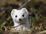 Short-Tailed Weasel (Mustela Erminea) in Winter Coat  Germany