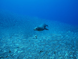 A Galapagos Sea Lion  Zalophus Wollebaeki  Feeding on Salema Fish