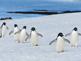 A Line of Adelie Penguins in the Snow