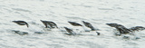 Chinstrap Penguins Swim in the Surf