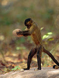 Brown Capuchin (Cebus Apella) Stabilizes Itself with its Prehensile Tail  Cerrado  Brazil