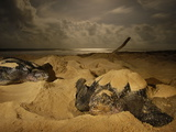 Female Leatherback Turtles Nest under Moonlight on Matura Beach