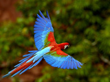 Red and Green Macaw (Ara Chloroptera) Flying  Mato Grosso Do Sul  Brazil