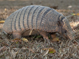 Seven-Banded Armadillo  Dasypus Septemcinctus