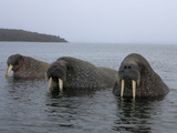 Atlantic Walruses Partially Submerged in Chilly Arctic Waters