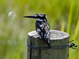 Pied Kingfisher  Ceryle Rudis  Perched on a Post