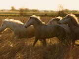 Camargue Horse (Equus Caballus) Group Running at Sunset  Camargue  France