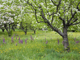 Orchard with Flowering Orchids and Wildflowers  Provence  Southern France