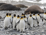 King Penguins Walking Past Sleeping Southern Elephant Seals