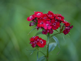 Red Flowers Bloom in a Home Garden in Cross Lake Minnesota