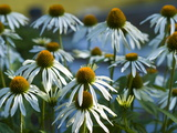 Cluster of White Coneflowers