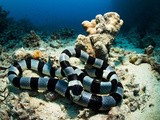 A Banded Sea Snake  Laticauda Colubrina  Sleeps on the Ocean Floor