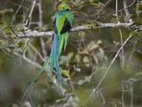 Resplendent Quetzal  Pharomachrus Mocinno  Bird Perched in a Tree