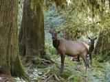 Roosevelt Elk (Cervus Elaphus Rooseveltii) Females  Hoh Rainforest  Olympic National Park