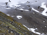 Blurred Motion of Little Auks in Flight