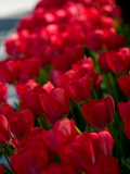 A Bed of Red Tulips