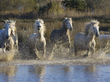 Camargue Horse (Equus Caballus) Group Running in Water  Camargue  France