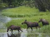 Moose (Alces Americanus) Trio Crossing River  Alaska