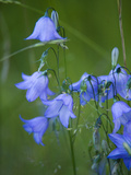 Harebell Flowers  Campanula Rotundifolia  in Bloom