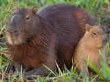 Portrait of Two Capybaras  Hydrochoerus Hydrochoeris