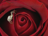 Goldenrod Crab Spider (Misumena Vatia) on Rose  Alaska
